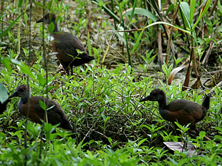 grey-necked wood-rail Tikal