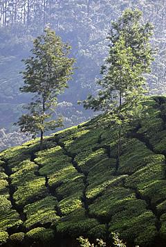 India: Munnar, Western Ghats & Tea Plantations.