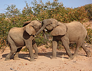 Young male elephants mock fighting.