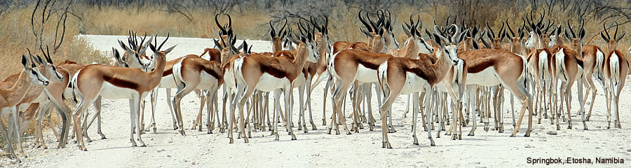 The Silk Route - World Travel: Springbok, Etosha, Namibia